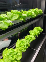 Fed by artificial sunlight and nutrient-rich water, Bibb lettuce matures in a grow wall that has been installed in the dining room at Hometown Roots restaurant.