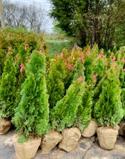 American Legion Auxiliary Unit 281 in Mt. Juliet is having its 10th annual tree sale this month. The arborvitae and all other trees and shrubs are $17 each.