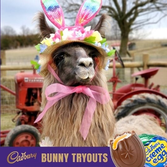 Conswala, the llama from Pennsylvania, is one of the top 10 finalists in the 2020 Cadbury Clucking Bunny competition.