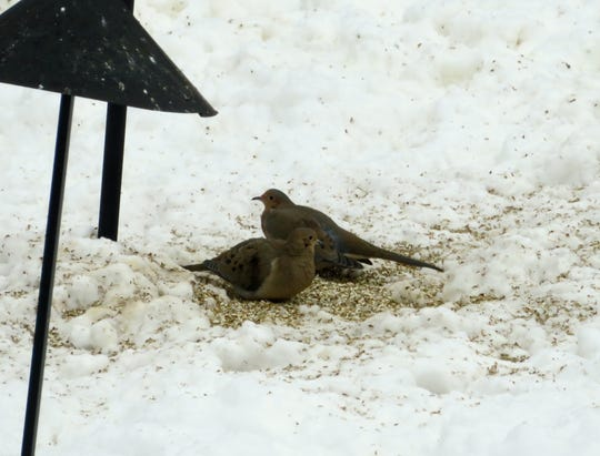 Although mourning doves are typically early migrants, occasionally some do winter in Minnesota.