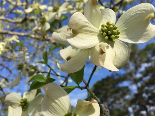 Dogwood trees can bloom for weeks in spring, displaying beautiful four-petaled white flowers.