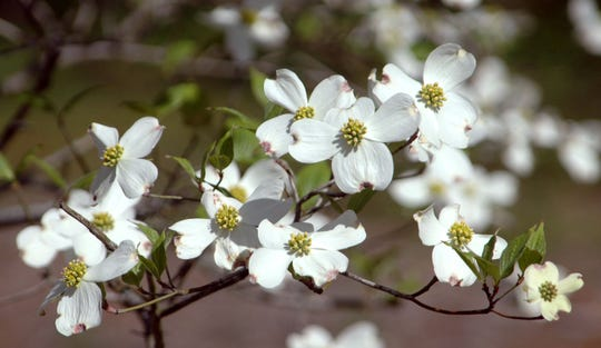 In the Florida Panhandle, dogwood trees (Cornus florida) have been in decline for multiple reasons, including improper care, aging trees, and a changing climate.