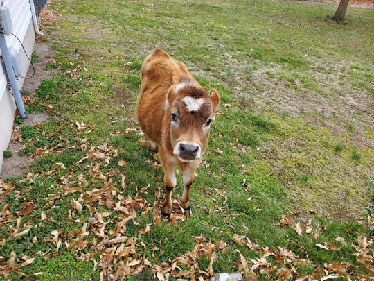 After DelDOT workers found it roaming, Hartly resident Ally Istenes let the calf in her backyard so that it would be safe from oncoming traffic.