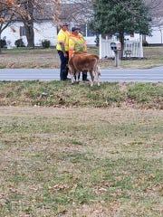 Hartly resident Ally Istenes pictures on Facebook of a loose calf that DelDOT workers found on Route 8 near her home on Tuesday.