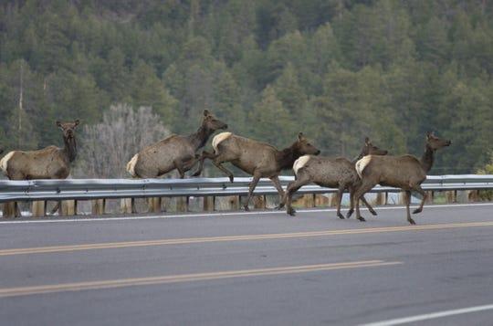 Elk seen crossing Highway 180 in Alpine on Thursday, April 24, 2008.