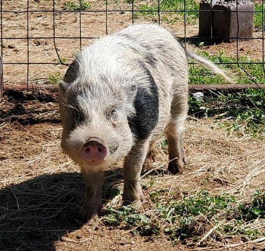 A pig at the San Angelo Animal Shelter on March 5, 2020.