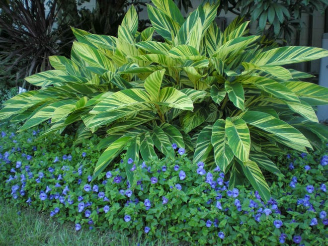 Variegated shell ginger is a good choice for adding color to shaded areas of the landscape.