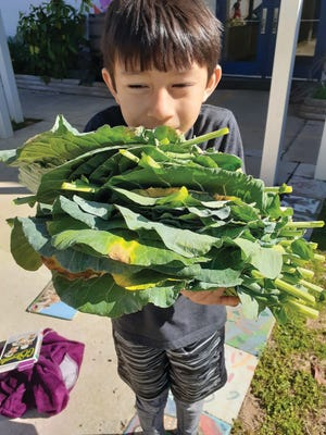 Heavy harvest: Aaron Swartz carries more greens than he can hold from the Gilchrist Elementary School Gardens.