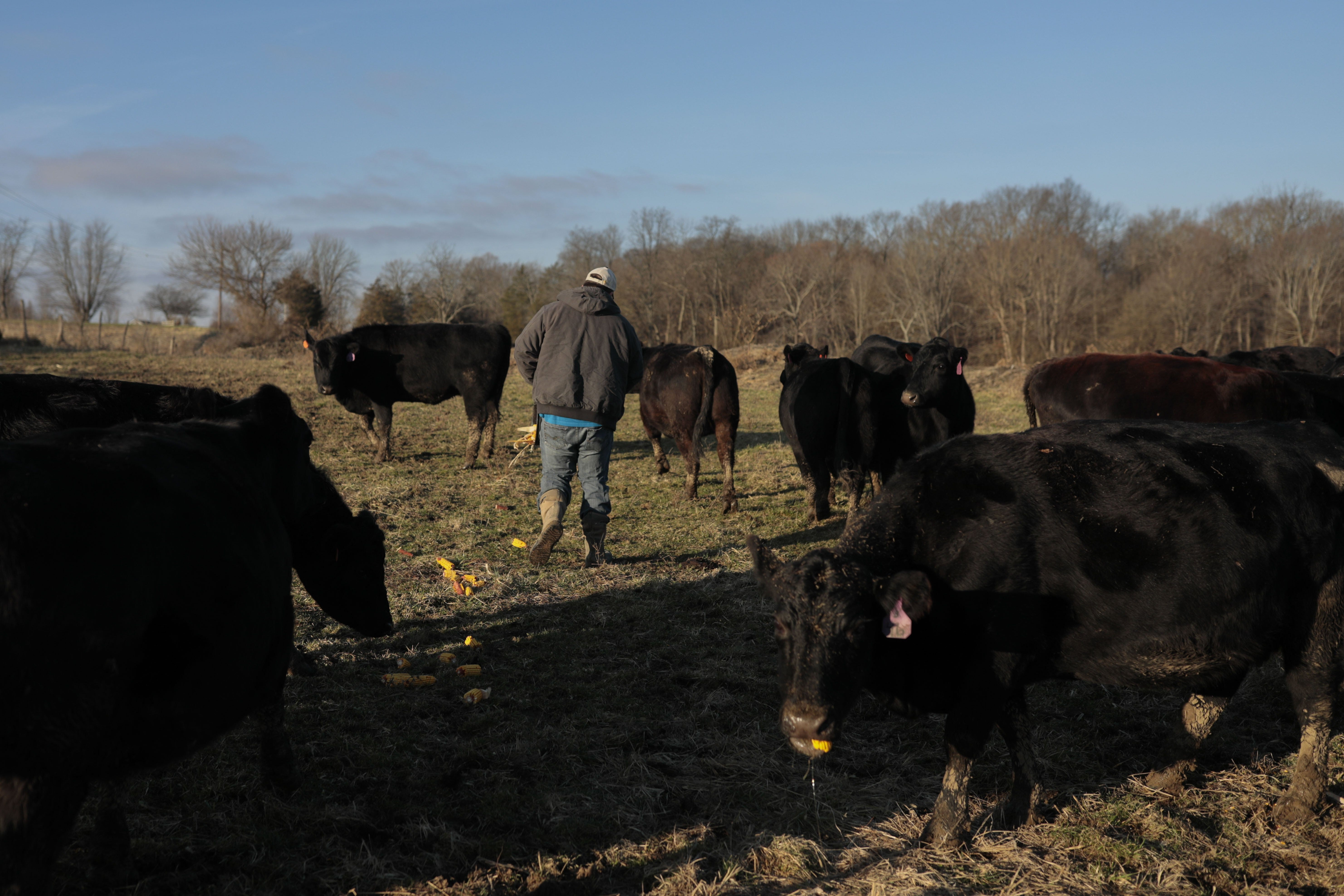 Nathan Brown feeds some of his cattle on Monday, January 6, 2020 at his farm in Hillsboro, Ohio. [Joshua A. Bickel/Dispatch]
