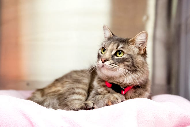 Missy is one of several cats at the Gulf Coast Humane Society looking for a forever home. She is three years old, has been in the shelter for just a few days and is a medium hair cat. She is known to be a friendly and loving.