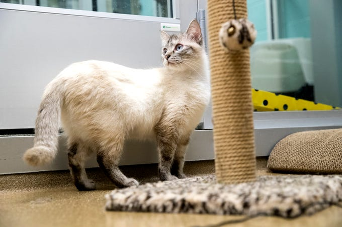 Martha is one of several cats at the Gulf Coast Humane Society looking for a forever home. She is two years old, has been in the shelter for just a few days and is a short hair cat. She is known to be a nap queen.