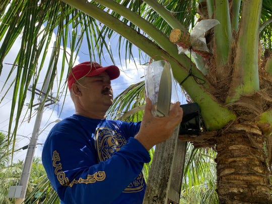 """Merizo resident Sonny Quinata on March 4 removes a plastic container from one of his coconut trees so he can make a fresh cut on the """"pengka"""" which provides the tree sap used for the drink tuba."""