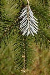 Conifer needles offer the perfect package for conserving water in northern areas where soils freeze deep through the long winter. The needle architecture minimizes leaf (needle) surface area to reduce loss of water through the needle's surface.