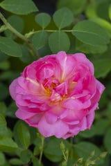 Sitting Pretty Rose