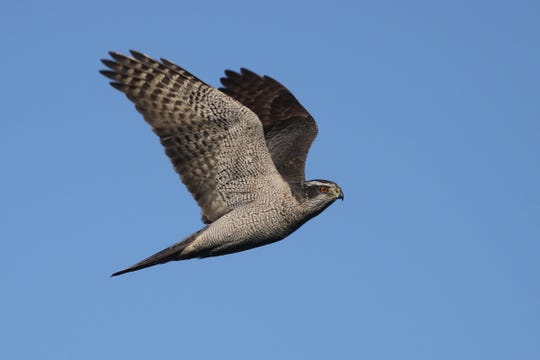 A northern goshawk on the wing.