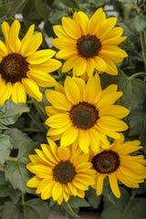 Suncredible Yellow