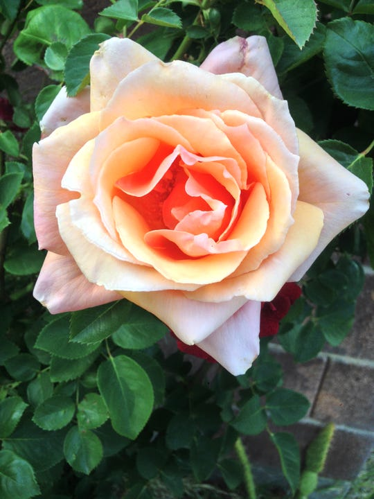 Many roses are impressively drought- and heat-tolerant. A thick mulch layer and regular watering to a depth of 18 to 24 inches are great steps toward healthier, showier rose bushes.