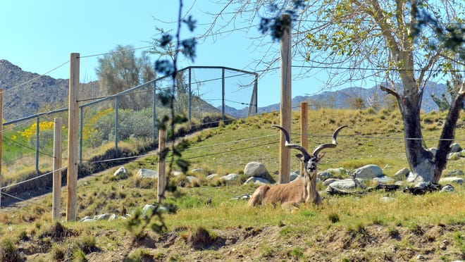 A greater kudu relaxes at The Living Desert on Tuesday, March 3, 2020, in Palm Desert.