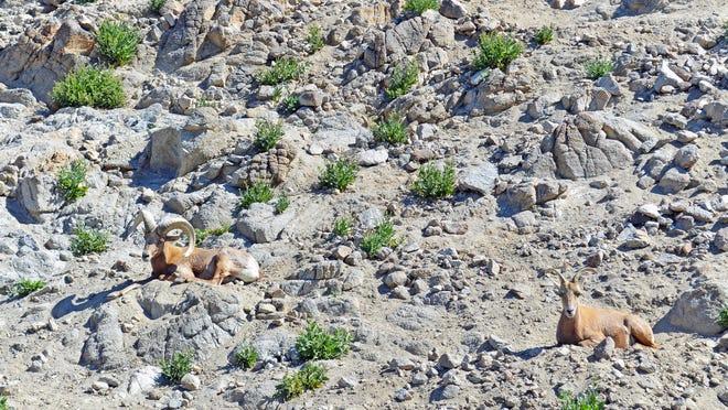 Desert bighorn sheep relax at The Living Desert on Tuesday, March 3, 2020, in Palm Desert.