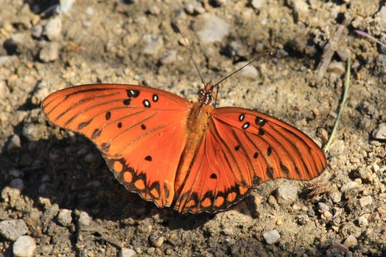 The gulf fritillary (Agraulis vanillae) is one of the most recognizable of the larger butterfly species that call Texas home.