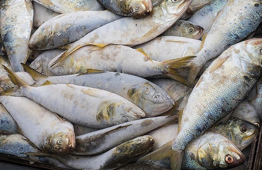 Menhaden are a critical food source for striped bass in the Chesapeake Bay.