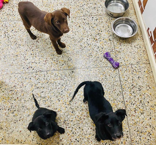 Burreaux, Joe, and O are sibling canines. O is still available for adoption at The Humane Society of Northwest Louisiana.