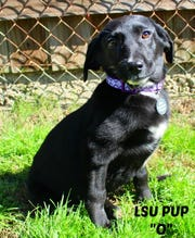 O the puppy is available for adoption at The Humane Society of Northwest Louisiana.