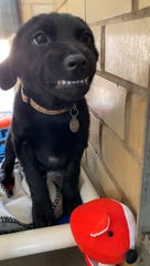 Burreaux the puppy won over the heart of the Internet with his toothy grin.