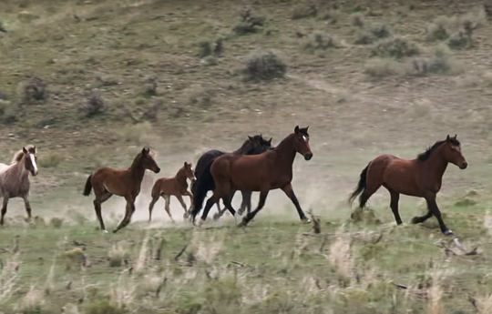 Wild horses roam public rangelands in the West, and their populations continue to grow beyond what many areas can sustain, according to BLM.