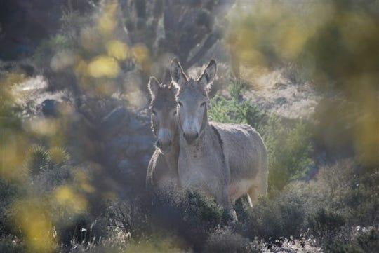 Free-roaming wild horses can be found on public lands across 10 Western states. Wild burros like these roam rangeland in California, Nevada, Arizona, Utah and Oregon.