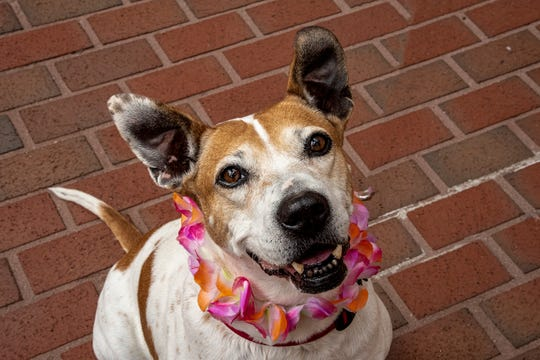 Princess Peanut's adoption fee would be $45, which includes her spay surgery, vaccines, microchip + registration, + a 6-months-supply of heartworm prevention.