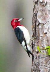 Birds like this red-headed woodpecker, now uncommon and local in many regions, depend on vast quantities of insects to survive.