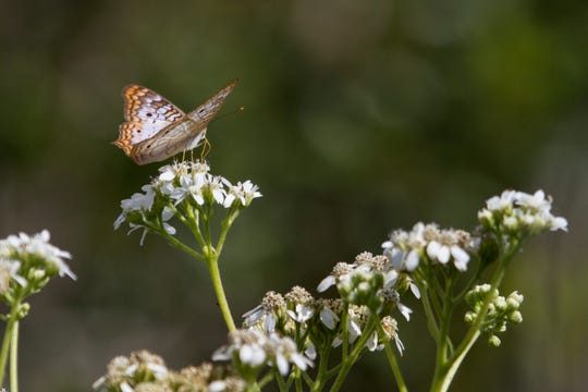 A white peacock butterfly on a native frostweed flower.