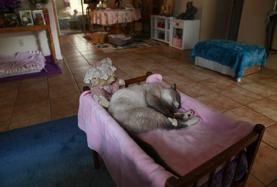 """Danny, 18, relaxes in a makeshift cat bed Friday, March 6, 2020, at his new home with Lois Irons in Port St. Lucie. Irons acquired Danny at Dogs & Cats Forever in Fort Pierce. """"I go over there all the time and I try to feed all the cats that are feral, and I saw Danny, and I just knew that he had to come home with me to spend the rest of his life,"""" Irons said. """"No one wanted Danny because of his age."""""""