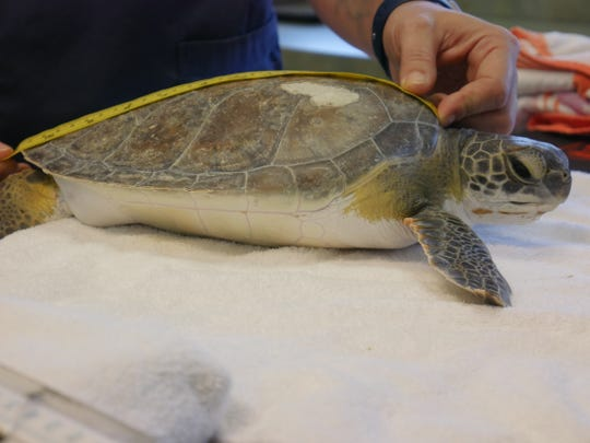 """This juvenile green sea turtle — nicknamed by the Loggerhead Marinelife Center as """"Geo Jr."""" — was spotted injured on the shoreline March 2, 2020,  in Vero Beach, said the Center's Public Relations and Engagement Specialist Lauren Eissey."""