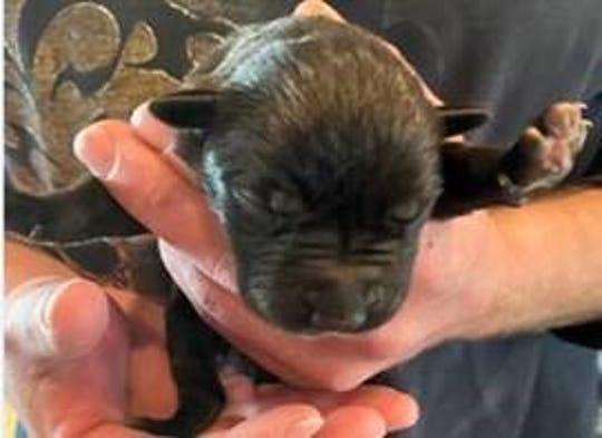 Eleven puppies were found Wednesday in a trash bin near Memorial Park, El Paso Police said.