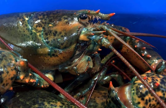 This May 8, 2019, file photo shows a lobster atop others in Arundel, Maine.