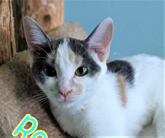 Reena is a 11-month-old dilute calico kitten looking for a home.