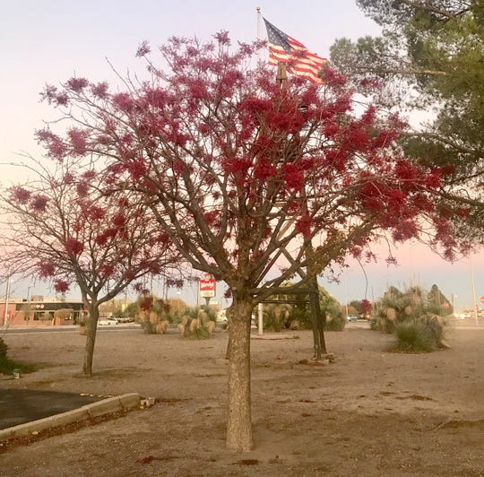 Has spring arrived early in Deming? Trees and flowers are blooming a week ahead of schedule. This tree at the Deming-Luna County Chamber of Commerce, 800 E. Pine Street, is showing its colors.