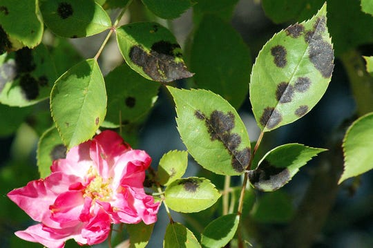 Black spot is a serious disease that affects roses.