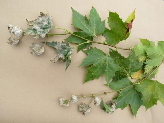 Powdery mildew is seen on leaves.