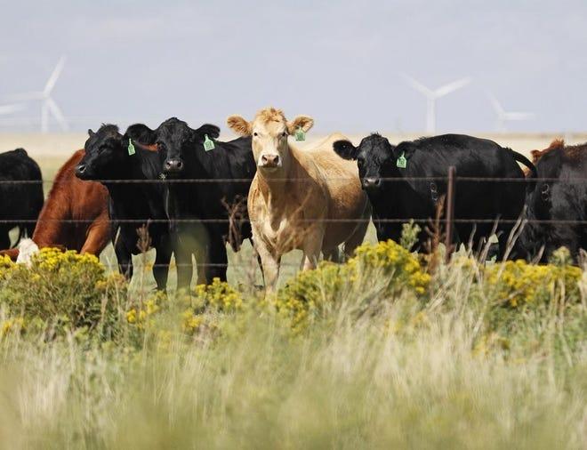 Cattle graze in a field Sunday, Sept. 29, 2019, near Groom, Texas.