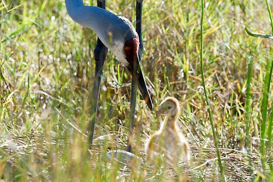 A sandhill crane tends to its newborn chick April 2, 2014, at the nest it shares with its mate in Jensen Beach. Another egg in the nest had not yet hatched.