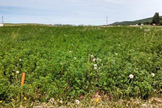 Eliminating weeds in alfalfa starts with applications before plants break dormancy.