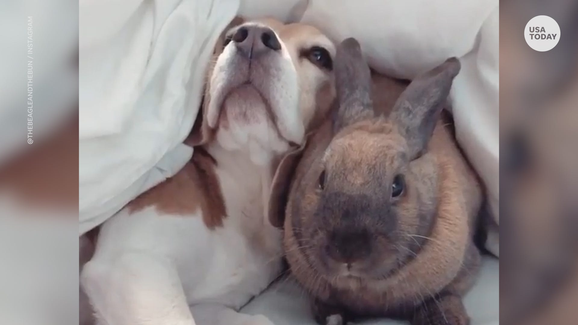 Beagle pup and bunny make an unlikely adventurous duo