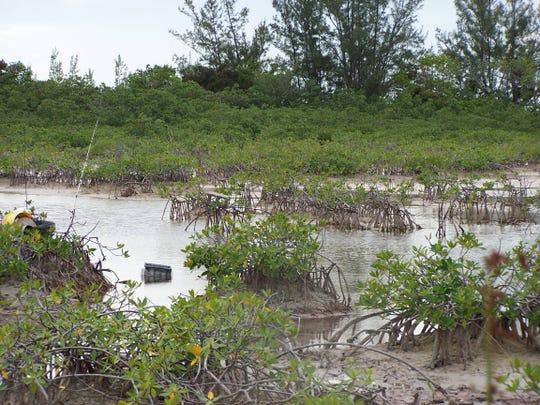 The same mangrove-lined estuary at low tide. The U-M-led study found that the individual gray and cubera snappers that spent the most time swimming and foraging for food also spread the highest levels of the essential nutrient nitrogen throughout the estuary in their urine.
