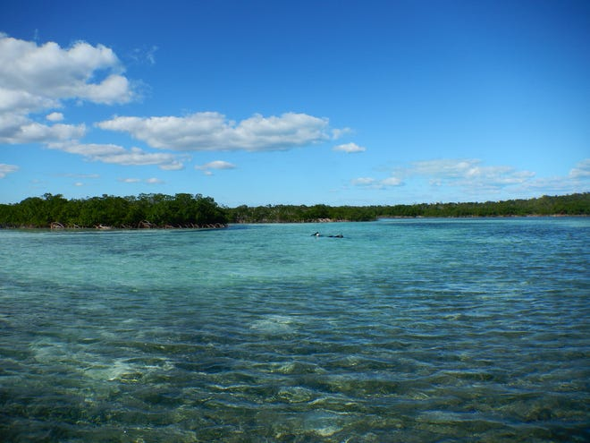 The mangrove-lined estuary on Abaco Island in the Bahamas where University of Michigan marine ecologist Jacob Allgeier and his colleagues used radio-tracked tropical fish to study the importance of highly active individuals in maintaining ecosystem health.