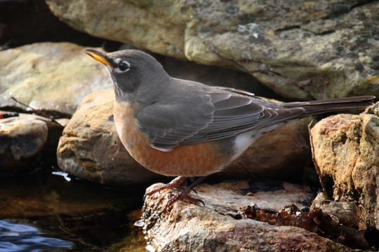 In winter, robins' bills are drab, even dirty looking.