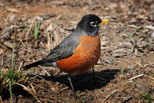 In early spring, during peak breeding season, robins' bills are bright yellow, a signal of good health and strength.