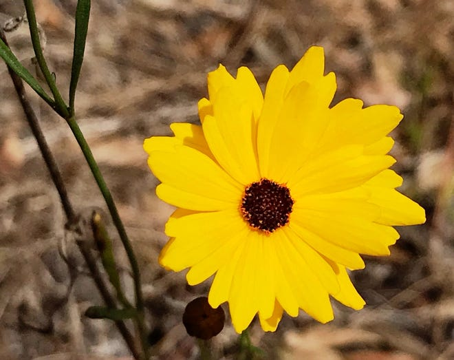 In bloom at Prairie Pines Preserve, Florida's state flower, Coreopsis leavenworthii, known as tickseed